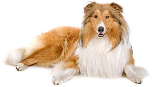 /Images/Lassie.jpg
