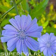 Cicoarea, sau Cichorium intybus