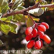 Dracila sau Berberis vulgaris