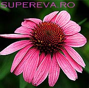 Planta perena, Echinacea tine raceala la distanta