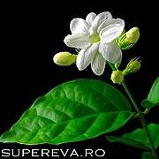 Iasomia sau Jasminum Grandiflorum