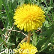 Papadia - o planta cu multe calitati medicinale