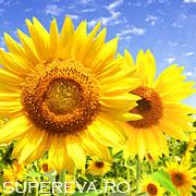 Floarea-soarelui sau rasarita