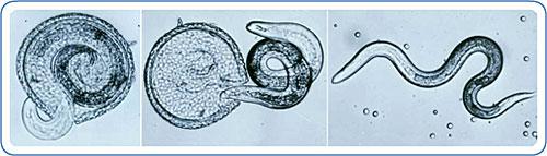 /Images/Toxocara-Canis-vierme-parazitar.jpg