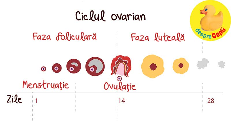 ce este erecția și ovulația