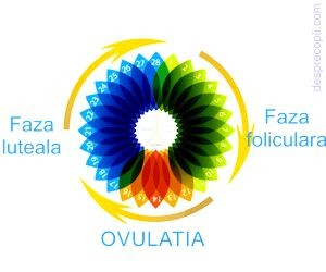 Fazele unui ciclu menstrual
