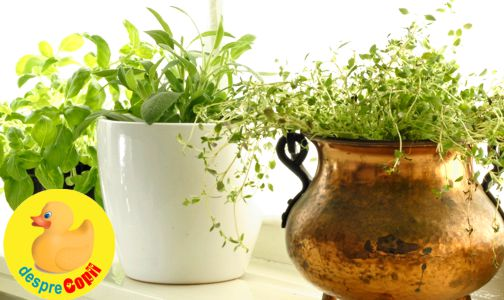 Plante aromatice care pot fi daunatoare pentru mama si copil in timpul alaptarii