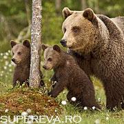 5 nopti intr-o padure langa o ursoiaca cu pui